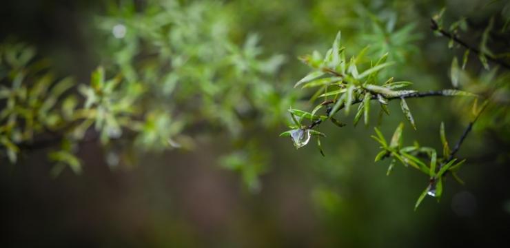 Manuka as a medicinal plant
