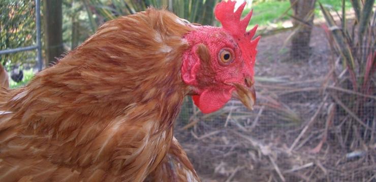 Saving free range chickens